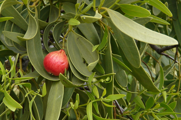 One Quandong fruit on Cottesloe