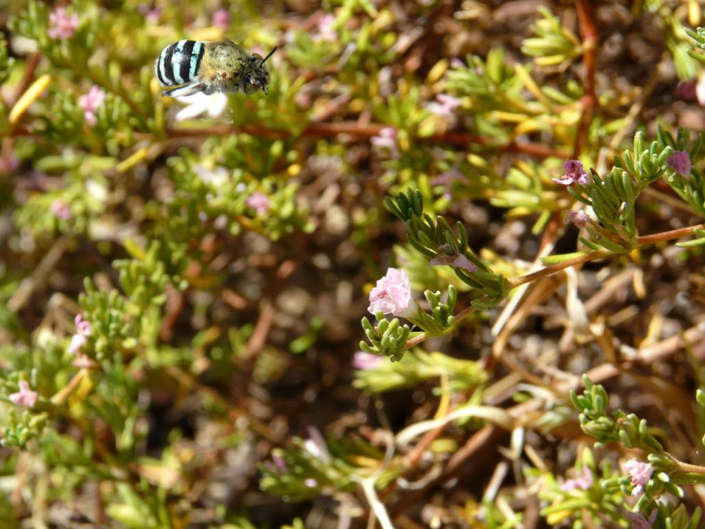 Blue-banded-bee-above-Frankenia pauciflora