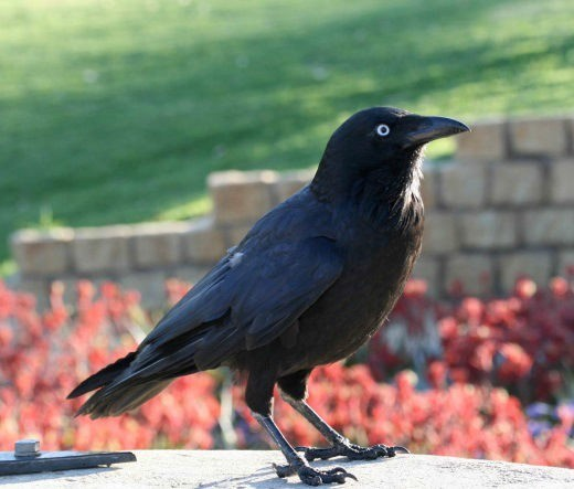 Australian Raven (Corvus coronoides) or crow. (Photo by Ken Macintryre)