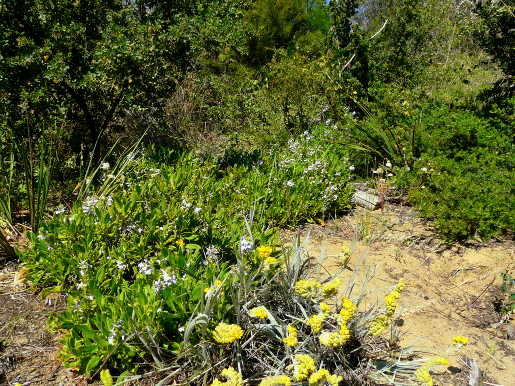 Silky scaevola growing well at Cottesloe Native Garden