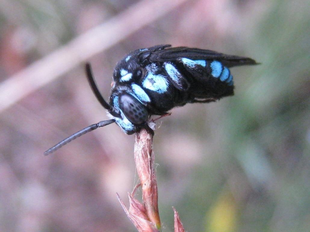 Thyreus nitidulus (neon cuckoo bee) - by John Tann, Sydney