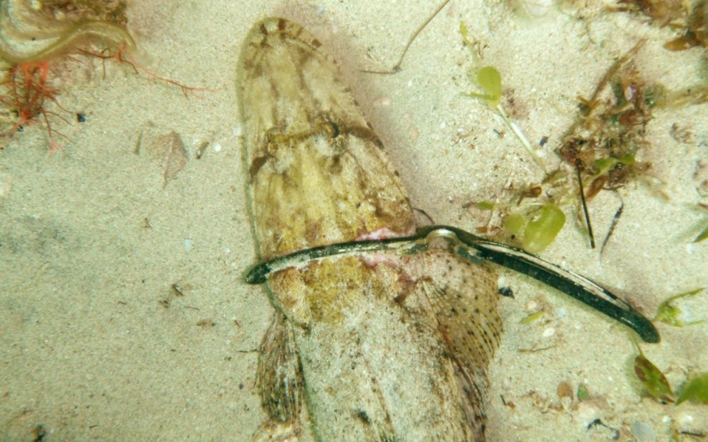 Mark's photo of flathead caught in sunglasses at Cottesloe reef
