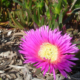 Carpobrotus edulis, also known as pigface