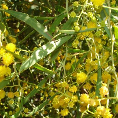 Acacia rostellifera