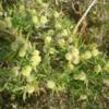 Acanthocarpus Preissii