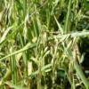 Annual Veldt Grass