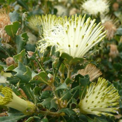 Banksia sessilis