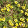Cape weed