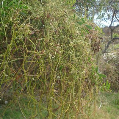 Cassytha racemosa