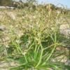 Dune Onion Weed