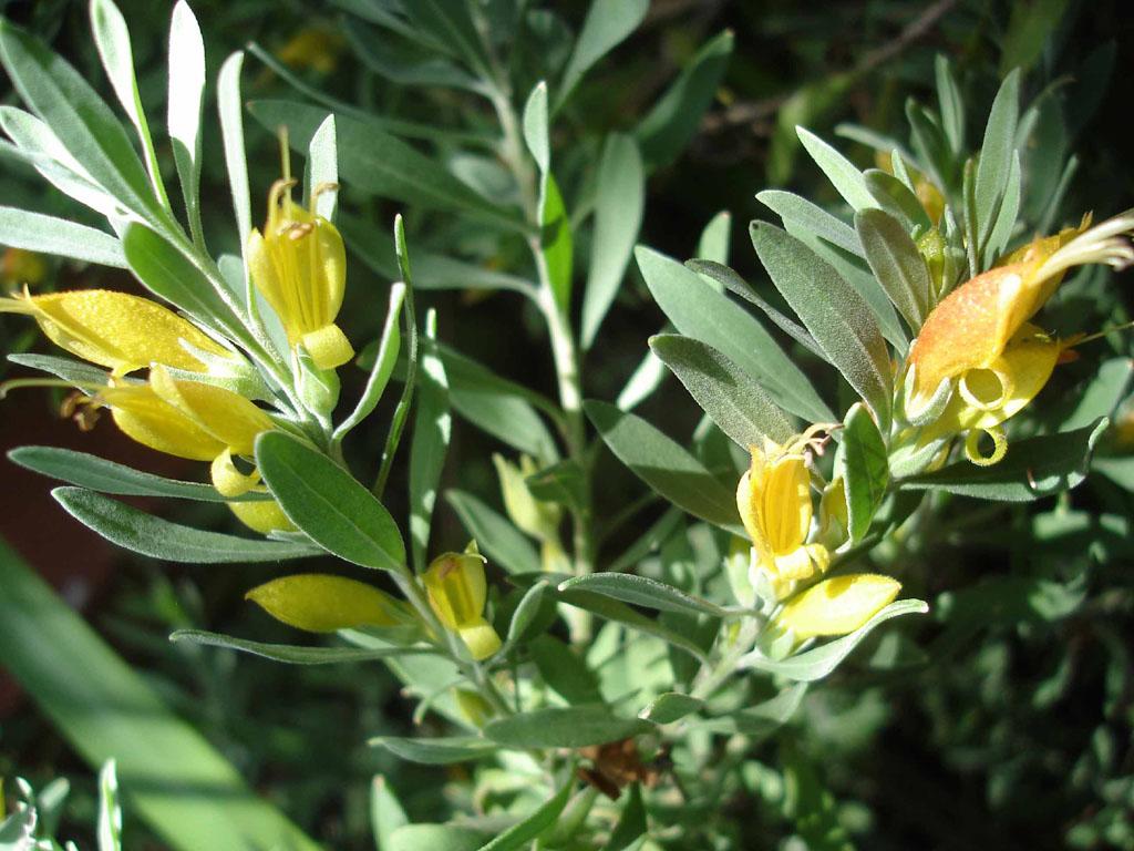 Eremophila Glabra