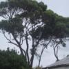 Eucalyptus Gomphocephala