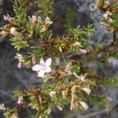 Frankenia pauciflora