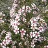 Chamelaucium Uncinatum