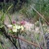 Lechenaultia Linarioides