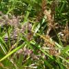 Lepidosperma Gladiatum