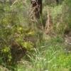 Perennial Veldt Grass