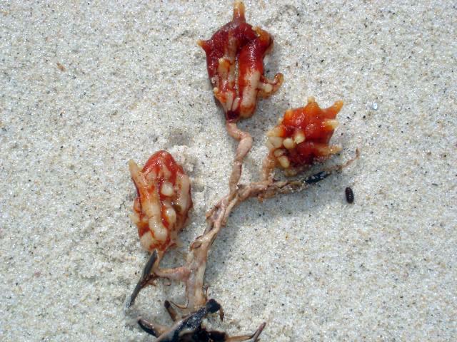 Sea tulip