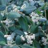 Spyridium Globulosum
