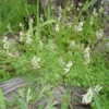 White Flower Fumitory