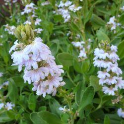 Scaevola anchusifolia