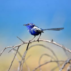 Male White-winged Fairy Wren