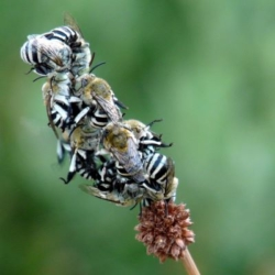 Native blue banded bees on Ficinia nodosa (knotted club rush)