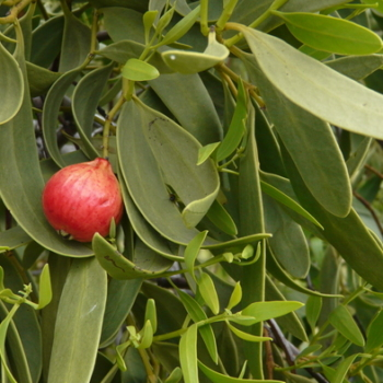 Our good news Quandong story