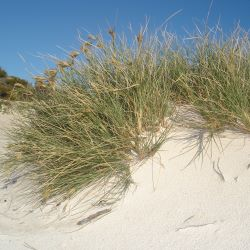 Spinifex longifolius in moving sand
