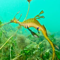 Weedy Sea Dragon 2011 by Mark Binns