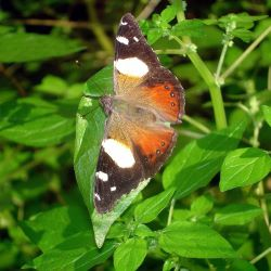 Yellow Admiral Butterfly on Pellitory