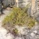 Nitraria billardieri