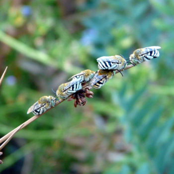 Blue banded bees (and cuckoo bees!!)