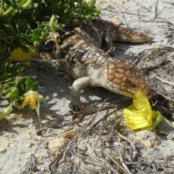 Our coastal reptiles