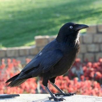 Kadjil the Crow man