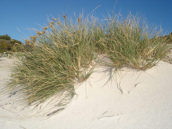Spinfex growing in moving sand