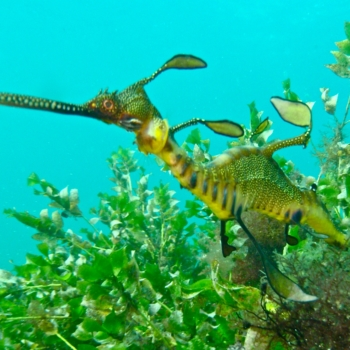 Success – Weedy Seadragons protected in WA!